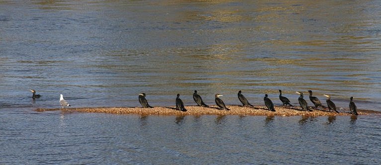 Groupe de Cormorans, sur un banc de sable sur la Loire, à Savonnière (37)