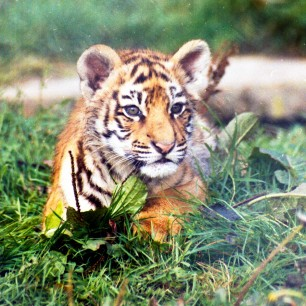 Tigre-Reynou(87)