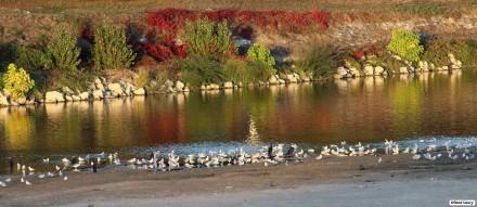 Mouettes et Cormorans sur fond d'île Aucard