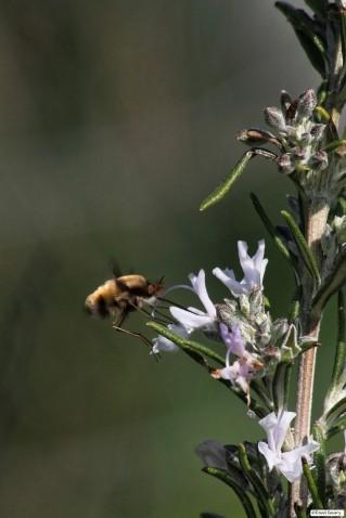 Peluche volante butinant du nectar